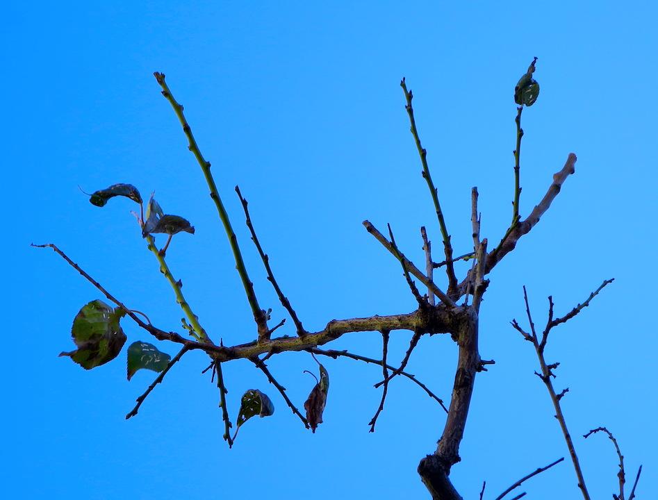 木枯しに打ち震えながらも未練を残す豊後梅の葉  撮影 三和正明