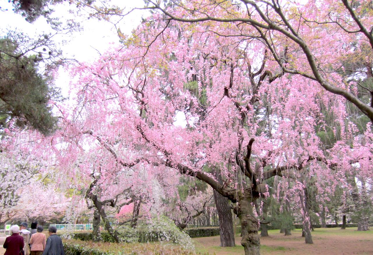 色とりどりの桜で賑わう京都御苑の春うらら  撮影 三和正明