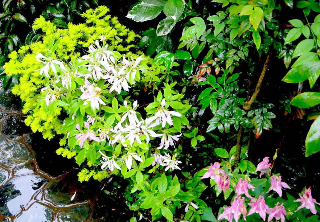 五月雨に打たれて光る敷石に花弁を落とす皐月